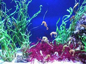 Dettaglio su cavallucci marini dell'Hippocampus di Oltremare